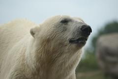 This is my good side! (Jolanda van Tuijl) Tags: bear zoo rotterdam blijdorp polarbear polar predator 2008 ijsbeer dierentuin roofdier mrsjolanda