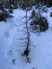 Charlie Brown's Larch Tree