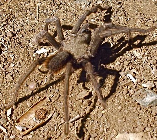 diablo tarantula3