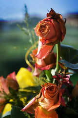 Az utolsó pillanatok / The last moments (Balázs B.) Tags: blue red orange plant flower green rose canon explore wilted virág vége wilt canonef24105mmf4lisusm rózsa 40d tkgroup hervadt