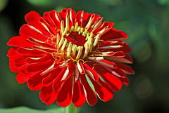 Zinnia (gwilmore) Tags: flower d50 zinnia phoenixarizona flickrmeetup interestingness378 i500 farmatsouthmountain upcoming:event=981998 explore18oct08