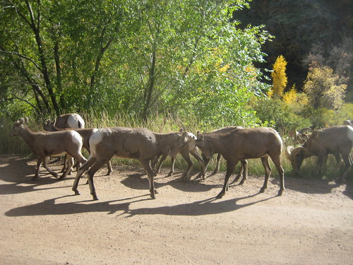 Bighorn Sheep at Waterton Canyon