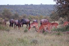 Bushmeat (John D McKenna) Tags: elephant bird southafrica crane lion rhino giraffe wildebeest kruger sodwana barbet kurisamoya