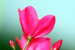 the first time (xeno(x)) Tags: pink light flower macro art nature canon garden asia 2008 xeno cubism bej 40d mywinners 4mazingorgeoushotsoflowers