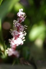吉祥草の花