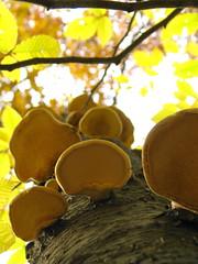 birch fungus and beech leaves