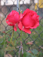 Election day rose along the fence at El Centro de la Raza. Roses in November are one of the great things about living here. Photo by Wendi
