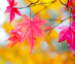 Japanese Maple Leaf Autumn (Stanley Zimny) Tags: park pink autumn trees red tree fall nature colors leaves yellow automne catchycolors japanese leaf maple colorful colours dof seasons natural fallcolors autumncolors fourseasons autumnal colorexplosion 4seasons mostfav p1f1 colorphotoaward ysplix theunforgettablepictures top20autumn 100commentgroup blinkagain mfsz