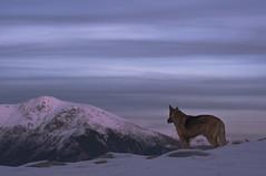 (Picafluix) Tags: dog mountain snow nikon bravo nieve montaa muntanya neu d300 pirineu muntanyes titu flickrsbest mywinners abigfave artlibre camidenuria damniwishidtakenthat