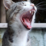 "Yawning cat<a href=""http://www.flickr.com/photos/28211982@N07/3056410996/"" target=""_blank"">View on Flickr</a>"