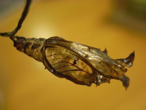 你拍攝的 蝴蝶空蛹。