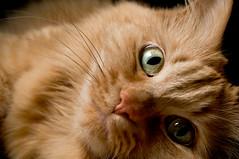 sheena up close (poopoorama) Tags: cat nikon sigma sheena d300 strobist 1850mmf28exmacrohsm