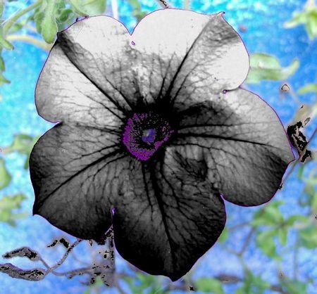 fiore bianco della Geisha / White Flower Geisha