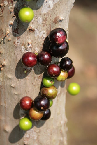 food fruits Jabuticaba bark