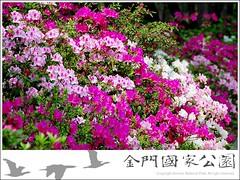 中山林杜鵑花開