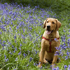 cody in the bluebells (Kayleigh McCallum) Tags: uk blue boy red dog pets cute green nature animal bluebells puppy photography scotland nikon labrador cody mammals 2011 foxredlabrador