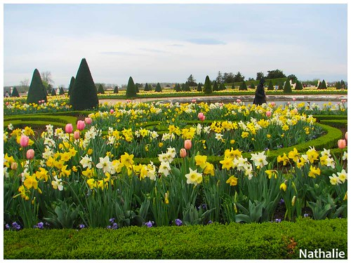 tulipes versailles