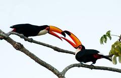 [フリー画像] 動物, 鳥類, オニオオハシ, カップル (動物), 201106141100
