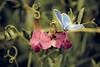 Le  manège enchanté (Marc Benslahdine) Tags: pink blue flower macro nature butterfly bokeh papillon lightroom canonef100mmf28macrousm canoneos5dmarkii ©marcbenslahdine marcopixcom