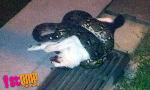 Python crushes cat to death at Bukit Panjang