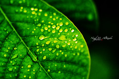 [100] (Sada AlQuds 48) Tags: life plant macro green up canon eos is leaf still all close right 100mm m l usm oman reserved f28 48 drizzle sada alquds 500d  salalah   alkaabi nouf