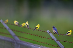 Birds on a Wire DSC_8139 by Mully410 * Images