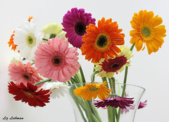 Gerber Daisies (LizTheRed) Tags: flowers colors spring daisy soe gerber flowersarefabulous