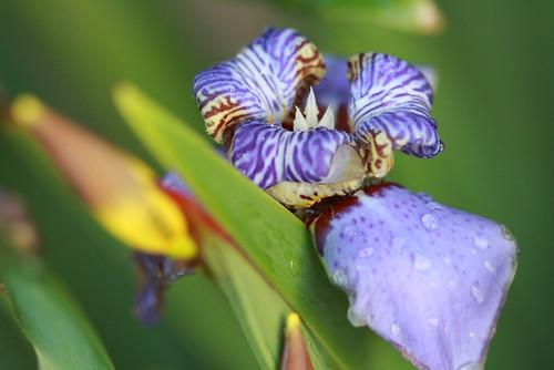 Apostle's Iris