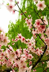 Plum blossoms / willow trees (Chamelle Photo) Tags: china pink flowers trees green gardens garden cherry spring purple shanghai branches blossoms peach plum willow bunch bunches blossoming    weepingwillow shanghaiist springtime blooming  plumblossoms willowtrees