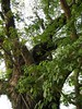 竹山鎮中和里救人老茄苳樹DSCN0182