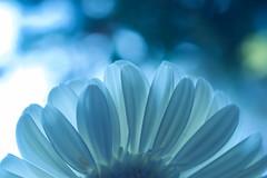 about daisy 01 - evening blue (jimuni) Tags: life plant flower color macro nature closeup daisy afican blueribbonwinner bouncingball supershot anawesomeshot theunforgettablepictures brilliant~eye~jewels goldstaraward macroflowerlovers digitaleloquence mimamorflowers photosofqualitytosmileabout alemdagqualityonlyclub freeflickrflowers