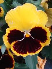 Viola x wittrockiana 20 (MantisXxl) Tags: naturaleza flores flower nature plantas rosa natura fabulous ramo ramos amarilloamarillo top20everlasting thepoweroftheflower floresporlapaz