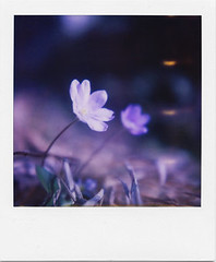 .al sole. (andrenzo) Tags: white flower love film composition vintage polaroid sx70 photography photo dream dreams intro pola 779 introcoso andrenzo andreacolombo introvertevent colomboandrea