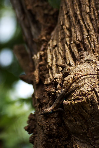 Fence Lizard on a Tree No. 2