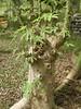 97.05.22平和國小吉貝木棉老樹DSCN0718