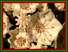 Mountain Laurel (pinecreekartist) Tags: macro pennsylvania pa wellsboro chiaramonte pennsylvaniagrandcanyon wellsboropa pinecreekartist tiogacountypachiaramonte