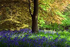 Pet Hate (jasontheaker) Tags: bluebells woods polarizer ilkley wharfedale middleton landscapephotography clichd jasontheaker westyorkshire copperbeach pethate nosaturationadded