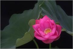 Lotus Flower IMG_3206 (Bahman Farzad) Tags: flower macro yoga peace lotus relaxing peaceful meditation therapy   lotusflower lotuspetal lotuspetals    lotusflowerlotusflowerslotusflowerpinkredblossomsacredcambodiathailandchinaindiahindubudabudhatattoospiritualtruthdevineelegantteacherinspirationinspirationalpeacepeacefulpeacefulnessheavenlytherapisttherapytattosoulfulsou lotusflowerpetals lotusflowerpetal