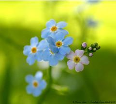 Some More Bokeh for you Sherry..lol..:O)) (law_keven) Tags: pink flowers blue england plants green kent dof bokeh leedscastle forgetnenots ssstudio