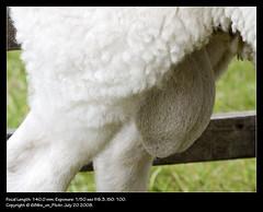 You've Heard Of The Dogs Wotsits... (68lbs_on_flickr) Tags: sheep testicles sheepsbollocks