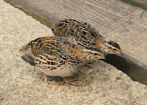 Common Quail pair, Coturnix coturnix | Flickr - Photo Sharing!