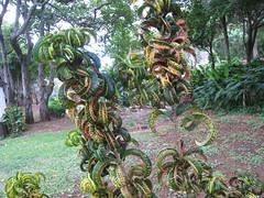 Curly Leaves (Steve Isaacs) Tags: hawaii mauihawaii