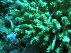 Damisela de Arabia / Red Sea Dascyllus (Dascyllus marginatus) (copepodo) Tags: fauna redsea diving jordan arabia aqaba buceo jordania submarinismo dascyllus marrojo damisela marginatus pomacentridae