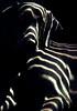 m u k h a . z e b r a (saikiishiki) Tags: light portrait dog chien sun white black love sunshine dark grey cozy warm shadows sweet stripes ghost gray hound hond highlights perro hund weimaraner zebra blinds lounging ♥ perra inu omoshiroi weim mukha vorstehhund 20f thelittledoglaughed platinumheartaward platinumheartawards waimarana