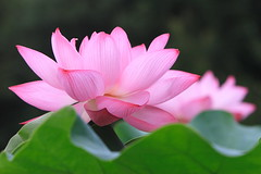floating on the leaves (Apricot Cafe) Tags: pink flower japan tokyo canonef70200mmf28lisusm mywinners yakushiikepark lotus damniwishidtakenthat awesomeblossoms