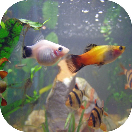Pregnant Platy () Tags: fish aquarium pregnant mickeymouse ...