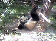 Zhennie Nursing (sue-pandas) Tags: panda zhen bai