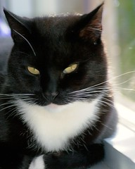 Cortez the charmer. (Cajaflez) Tags: portrait pet black cute cat kat chat tuxedo gato gatto kater blueribbonwinner cc300 cc200 cc100 mywinners abigfave kissablekat bestofcats anawesomeshot impressedbeauty pet100 theperfectphotographer goldstaraward rubyphotographer qualitypixels 100commentgroup catnipaddicts boc0708