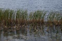 Reeds (canadianfamily) Tags: autumn raw ottawa ottawariver
