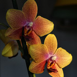 Orchid thumbnail